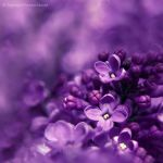 lilac. by impatienss