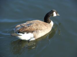 Canadian Goose 3 by Werefox89
