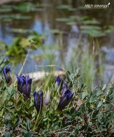 Small Purple Mountain Flowers by mjohanson