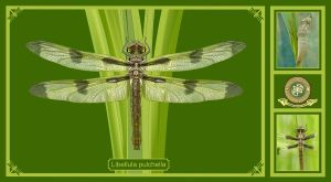 Dragonfly Poster. by buckobeck