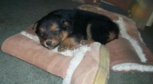 Black and Tan Male 6wks by Senwolf10