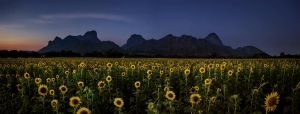 Sunflower at Dusk by palmbook