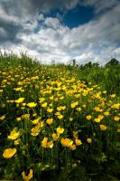 Buttercups by Dave-Ellis