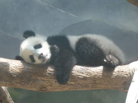 Sleeping Baby Panda by rosegirl123