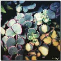 Succulents... by ansdesign