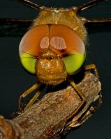 Dragonfly Headshot by biawak