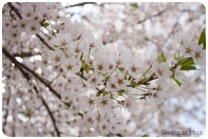 Cherry Blossoms 2 by moofestgirl