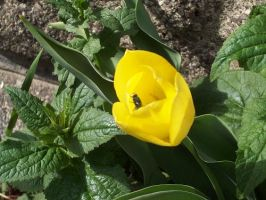 A Fly Sitting on a Tulip by whatsername57