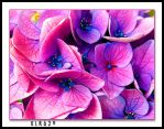 Pink and Blue Hydrangea by KLR620