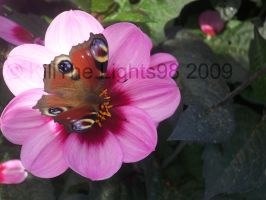 Butterfly On Dahlia by KillTheLights98