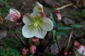 Winter Hellebore by Mararda