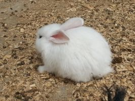 A Very Cute And Very Fluffy White Bunny by FluffyAlice1