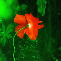 poppy by PhotoFrama