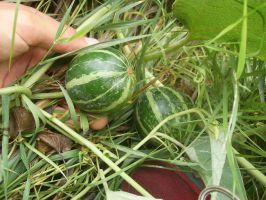 wild baby melons by tylerp1991