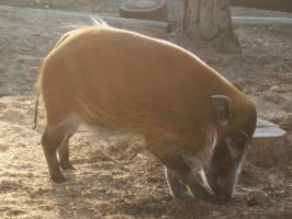 SD Zoo - Red River Hog by sychoblustock