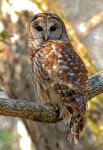 Barred Owl by Photography-by-Image