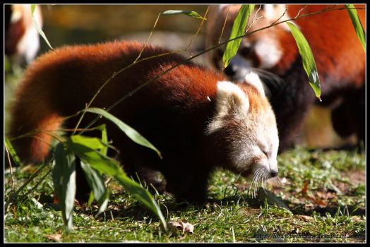 Red panda cub by AF--Photography