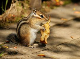 Siberian Chipmunk by Nachiii