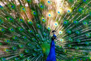 Peacock by Blue-BirdPhotography