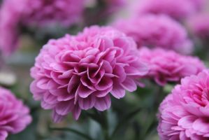 close up of a chrysanthemum by ksham25