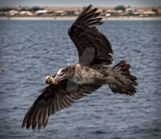 Young Albatross by Bluebuterfly72
