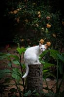 White cat. Sri Lanka by jennystokes