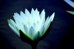 Lotus Illumination... by Eric-Casper