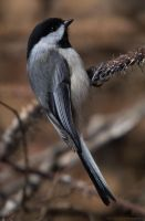 Black Capped Chickadee by KSPhotographic