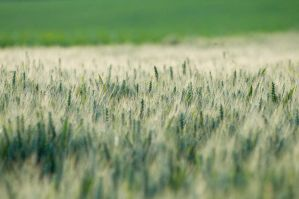 Wheat field by dbroglin