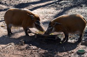 Red River Hog 2 by Vesperity-Stock