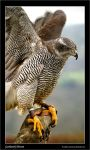 Goshawk Down by Andrew-and-Seven