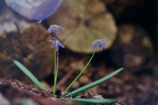 Wood Squill by Volk-oseba