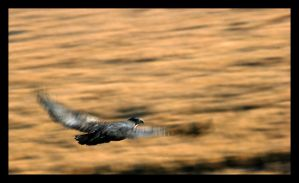 The eagle fly by GonBo