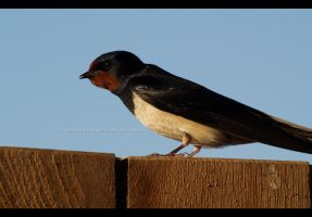 Barn Swallow by Sophie1990