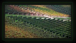 Colorful vineyards by Suppi-lu-liuma