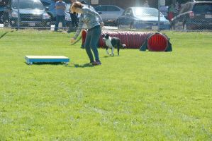 2014 Dog Festival, Agility Contest 31 by Miss-Tbones