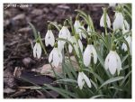 Snowdrops by janey-in-a-bottle