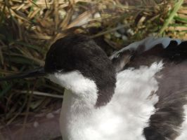 Avocet 2 by Ruth-1