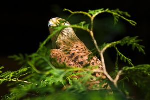 European Kestrel by duncan-blues