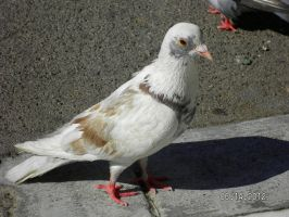 Pigeon of Greece by strangmusicobsession