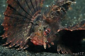dwarf lionfish by aquanauts74