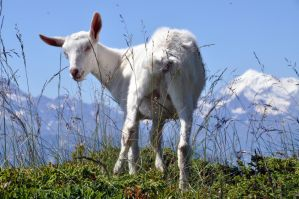 White Goat 15886160 by StockProject1