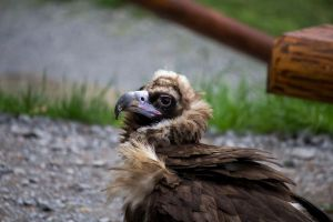 Cinereous Vulture 03 by blackkurai