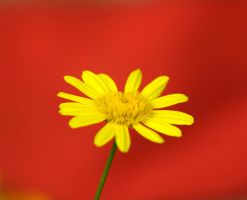 Marguerite on red by gisu-stock