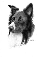 border collie 1 by Vitadog