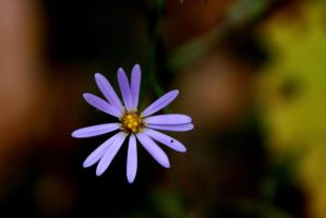 Wavy-Leaved Aster by olearysfunphotos