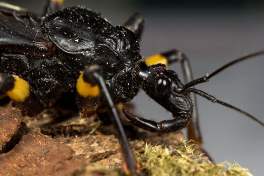 Assassin Bug by adambrowning