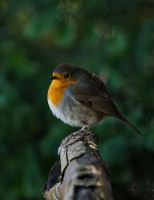 Robin 03 by NellyGrace3103