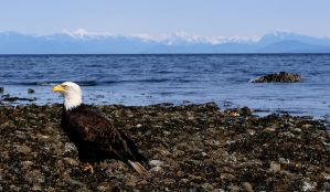 West Coast Eagle by Mikew92