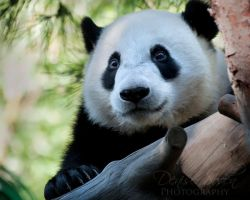 Little Panda by DeniseSoden